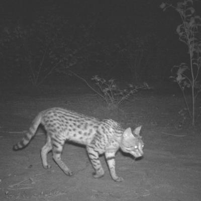 2 Asiatic Wild Cat