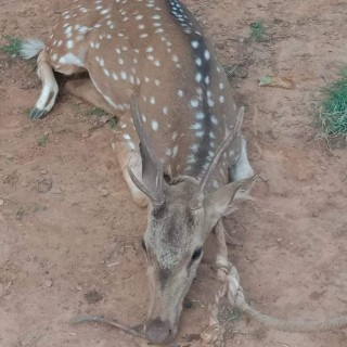 A pair of Chitals chased, attacked by feral dogs; seriously injured, one dies